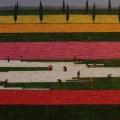 Champs de Tulipes - Image Size : 16x32 Inches